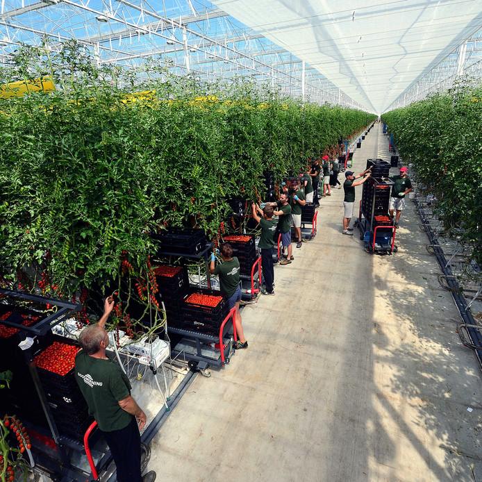 Arbeidsmigranten aan het werk in de tomatenkas van RedStar in Dinteloord