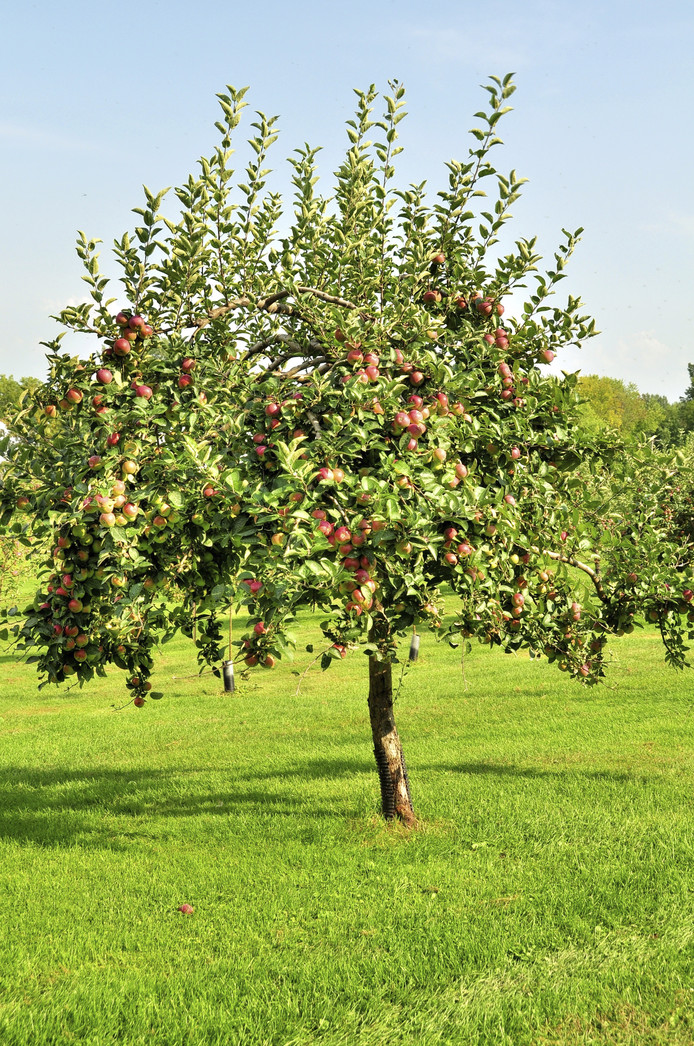 Appelboom.