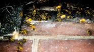 Biologen KU Leuven komen gratis wespennest ophalen
