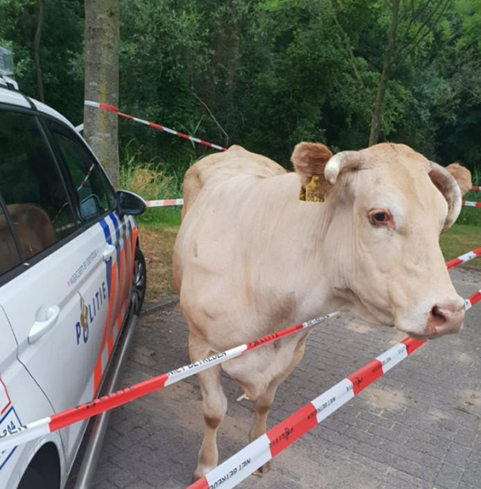 De koe werd ingesloten door de politie.