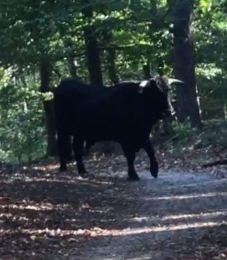 Vrouw raakt gewond door aanval van stier in bos, dier afgeschoten