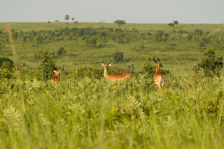 Een groep antilopen in het Murchison Fall National Park. Volgens de rangers is het aantal stropers tijdens de coronacrisis enorm toegenomen. Beeld Michele Sibiloni