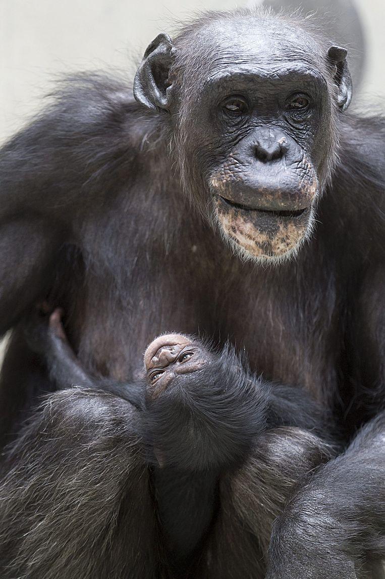 Ook bij chimpansees vinden we iets dat op oorlog voeren lijkt. Beeld epa