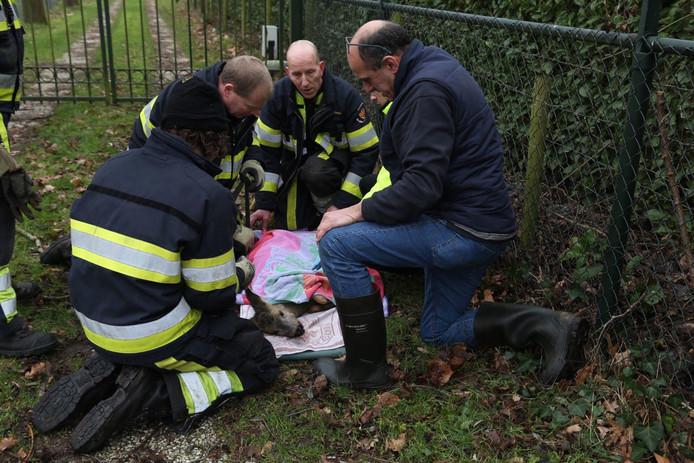 Het reetje wordt naar een kliniek in Halle gebracht.