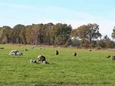 De lammetjes genieten volop in Lievelde