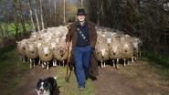 Subsidie voor 'wolvenomheining' veel lager dan verwacht: schapenboeren komen op straat met hun kuddes