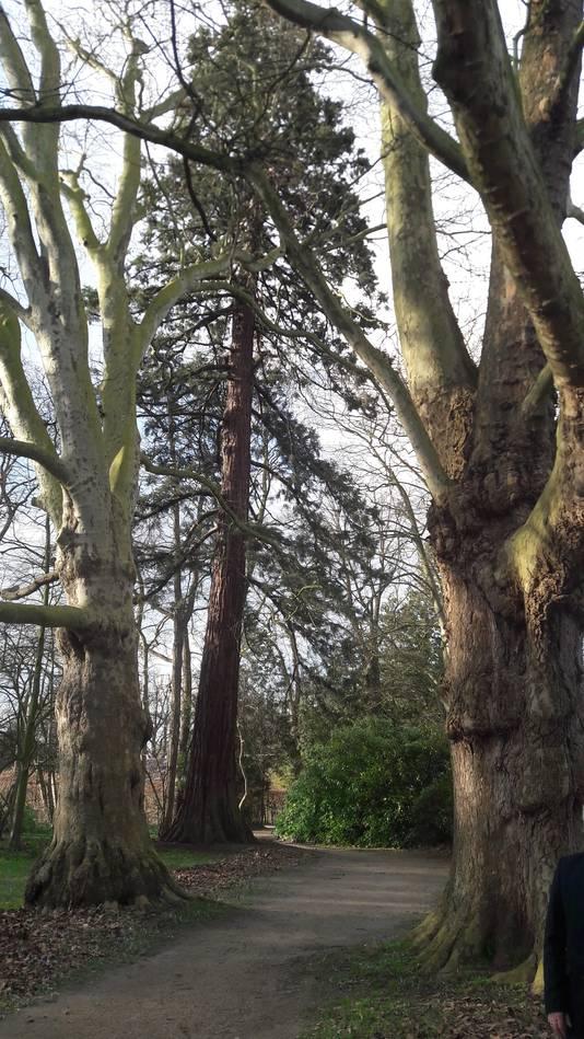 Twee monumentale platanen en een mammoetboom (seguoia) in het Geldropse kasteelpark