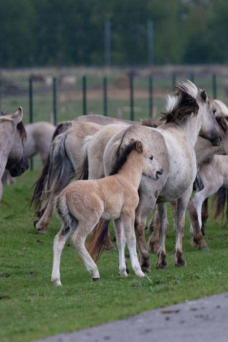 Extra water in hitteweek voor konikpaarden in Oostvaardersplassen bij Lelystad