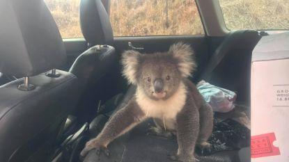 Koala kruipt in auto om te genieten van de airco