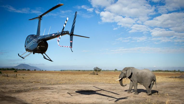 Liwonde National Park: een grote bul wordt vanuit de helikopter neergeschoten met een verdovingsgeweer. Beeld Julius Schrank
