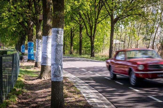 Bomen op de Sonseweg in Lieshout, met plastic folie om de stam om de processierups tegen te gaan.