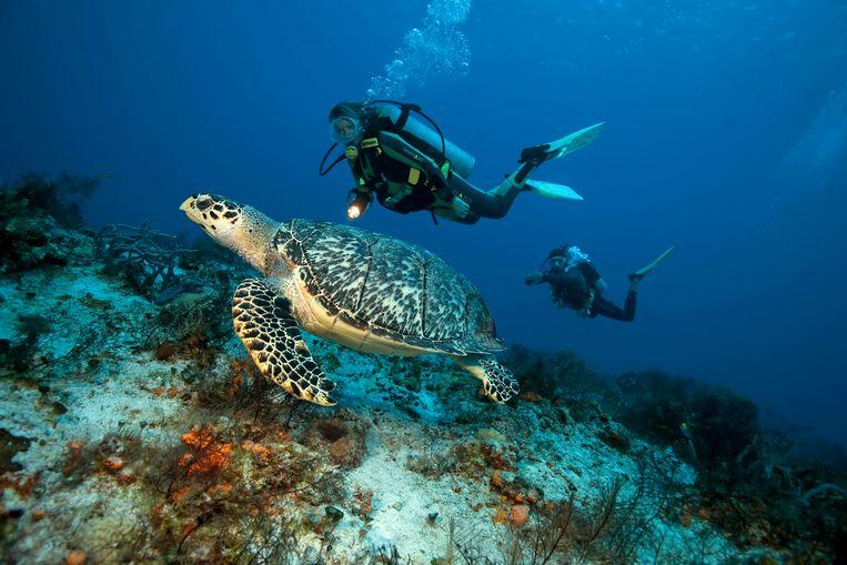 Duikers bewonderen een Karetschildpad in het Caribisch gebied. Beeld Helmut Corneli / Imageselect