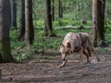 Nederlandse jager schiet Duitse wolf dood