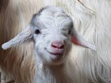 Natuur staat niet stil: geitenlammetjes geboren op Stadsboerderij De Vosheuvel