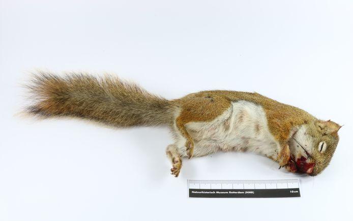 De eekhoorn op tafel bij Kees Moeliker, directeur van het Natuurhistorisch Museum Rotterdam.