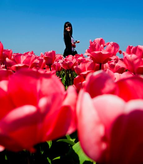 Kopers tulpenbollen structureel misleid: slecht 1 procent komt tot bloei