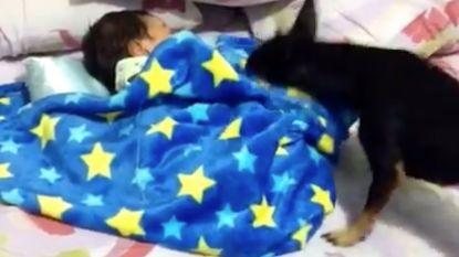 VIRAL 3: Een hond die zijn klein vriendje instopt