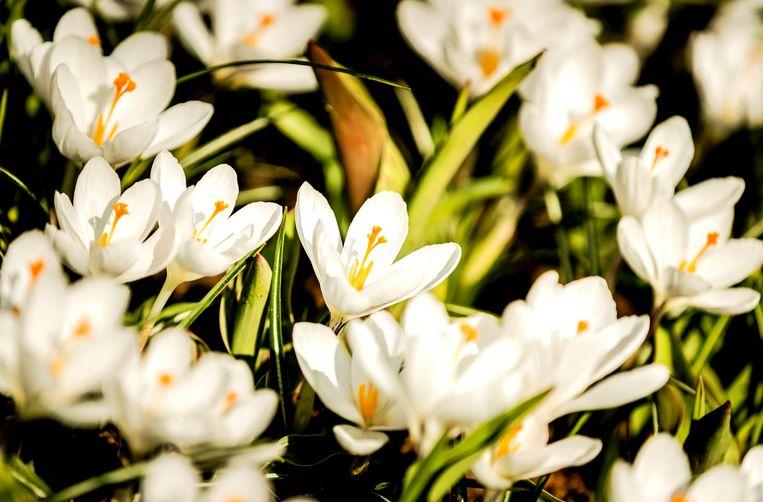 Tulpen staan in bloei voorafgaand aan de opening van de Keukenhof Beeld ANP