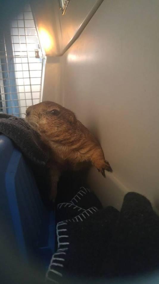 Een prairiehond ontsnapt bij Ouwehands Dierenpark en wordt gevangen door buurtbewoners.