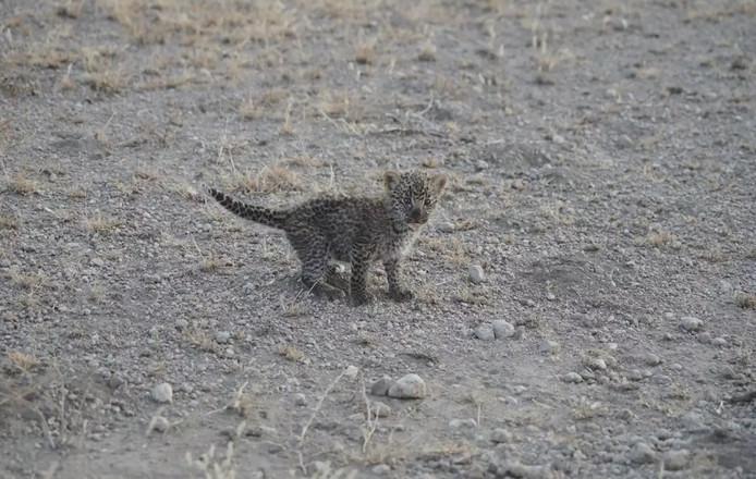 Als het luipaardwelpje tussen de 12 en 18 maanden is zal ze een individueel leven gaan leiden. Mocht ze het overleven.