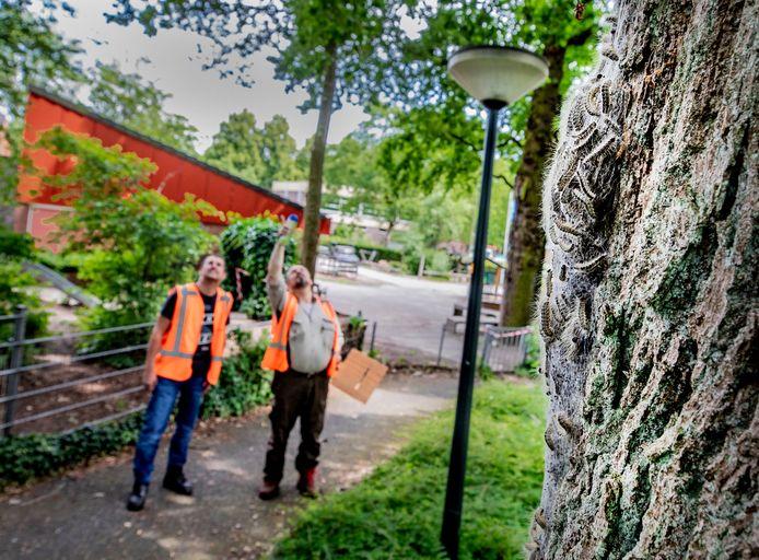 Maarten Vos (links) en Bert - Jan van Zetten van de gemeente Apeldoorn controleren de bomen waarover een melding van de eikenprocessierups is binnengekomen. Met een blauwe spuitbus wordt de boom gemarkeerd voor de bestrijders. Op de achtergrond het schoolplein van basisschool De Korf, waar de rups in drie bomen zit.