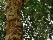 Deze Bergse boom heeft een eigen Facebookpagina