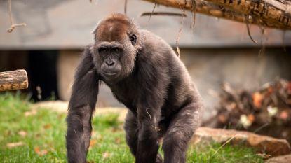 Gorilla Mayani in Zoo Antwerpen is zwanger: baby rond Kerstmis verwacht