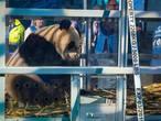 Reuzenpanda's Wu Wen en Xing Ya eindelijk in Nederland