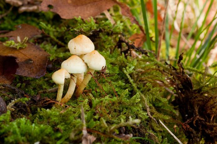 In het Coovelsbos in Helmond groeien duizenden soorten paddenstoelen.
