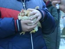 Heel kleine omeletjes van knuffelkipjes in Enschede