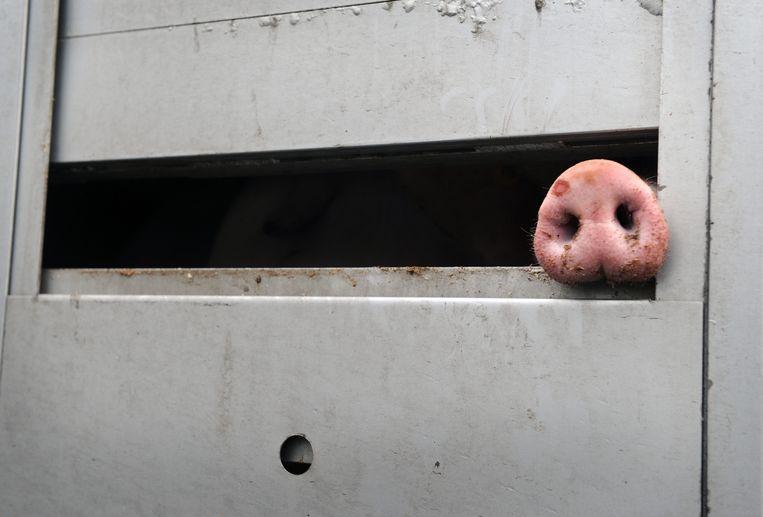 Een varken in een wagen voor het slachthuis in Druten. Beeld Marcel van den Bergh