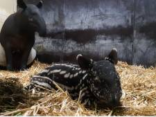 Blijdorp in de zevende hemel: Maleise tapir geboren