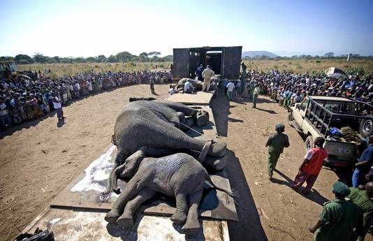De olifanten worden klaargemaakt voor een reis van 300 kilometer door de savanne.