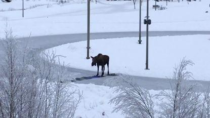 VIDEO. Buurtbewoners maken met tapijten en yogamatjes oversteekplaats op ijsbaan voor passerende elanden