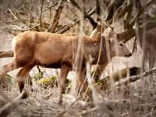 Het is begonnen: afschot 1830 herten in Oostvaardersplassen