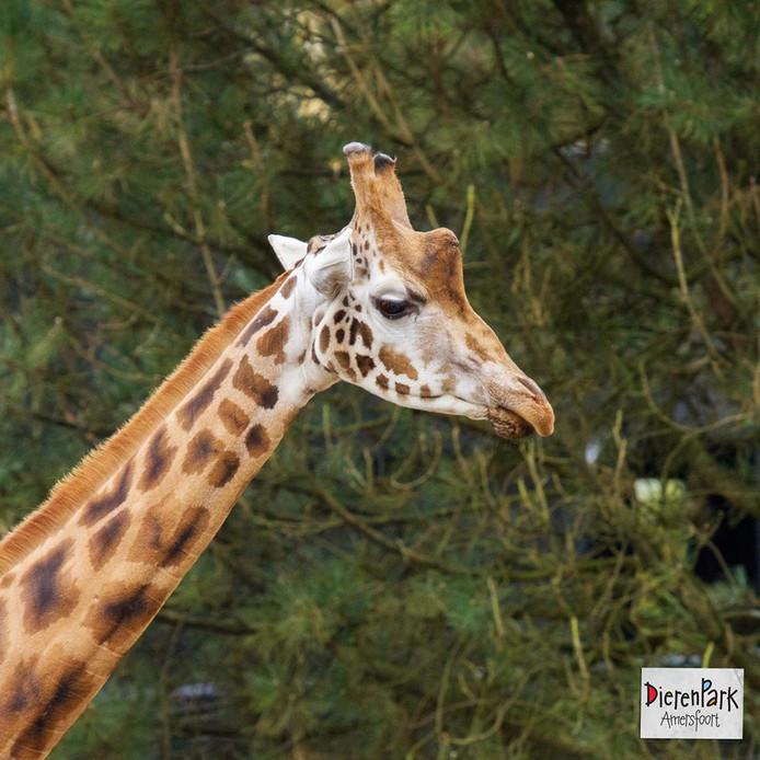 Giraffe Sharifu.