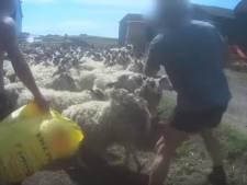 Un éleveur écossais condamné pour avoir frappé ses moutons