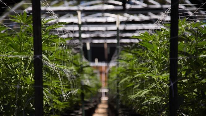 Buren uit Assenede die samen cannabis kweekten, riskeren gevangenisstraffen tot 3 jaar
