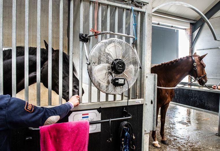 Met een ventilator worden de paarden in het stallencomplex gekoeld. Rechts Demantur, de tienjarige ruin van Sanne Voets. Beeld Koen Verheijden