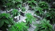 Cannabistelers riskeren tot 24 maanden cel