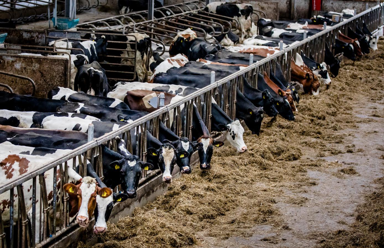 De halvering van de veestapel zou de Nederlandse economie jaarlijks 3,5 miljard euro kosten.