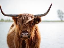 Natuurmonumenten vergoedt kosten slachtoffer na aanval Schotse Hooglander