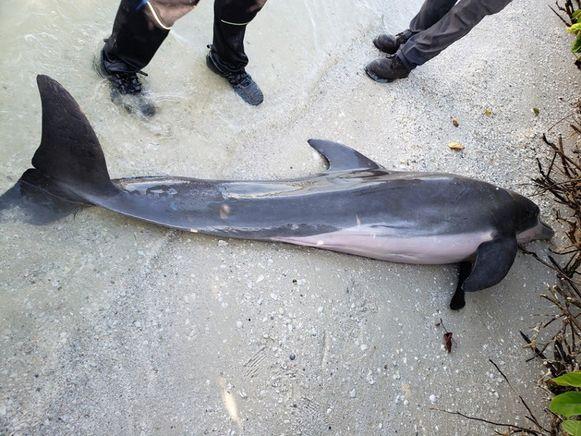 De dolfijn spoelde aan op het strand van Fort Myers Beach, Florida.