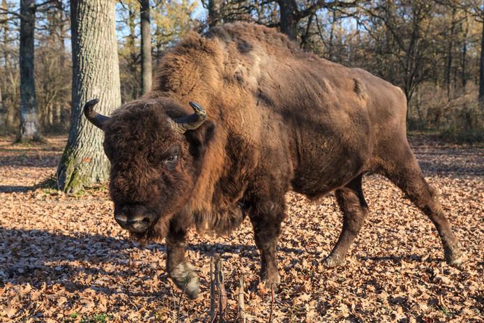 Le bison européen, herbivore, est placé sur la liste rouge des espèces vulnérables par l'Union internationale pour la conservation de la nature. Il a pratiquement disparu depuis les années 1920, sauf en Pologne dans la forêt de Bialowieza.