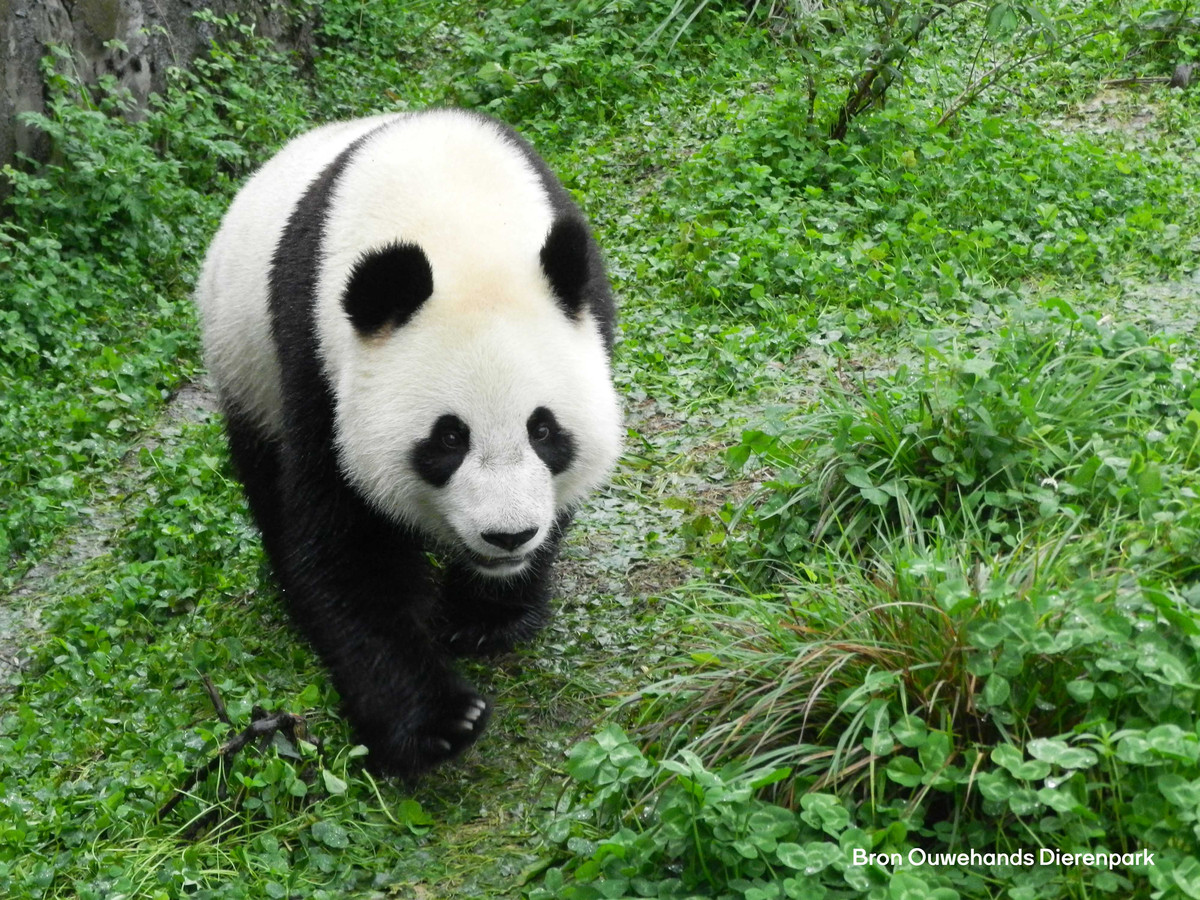 De panda Wu Wen komt naar Rhenen.