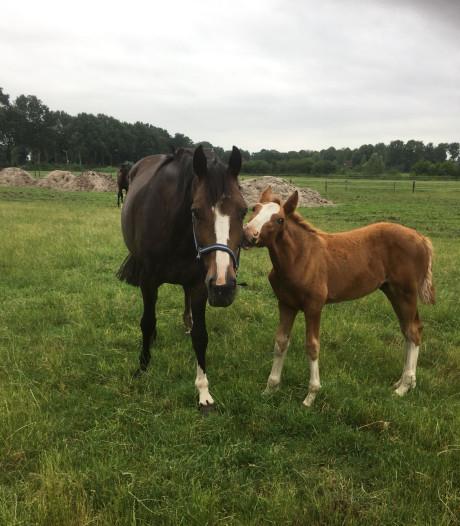 'Maniak' verminkt paard met mes in Overijssel