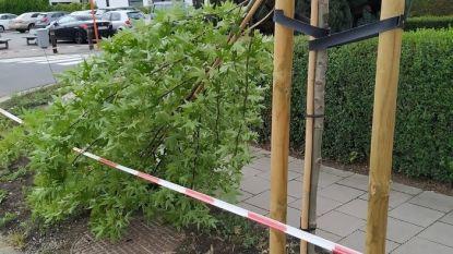 """Pas geplante bomen knakken af als twijgjes: """"Tja, deze bomen staan bekend als matig windbestendig"""""""
