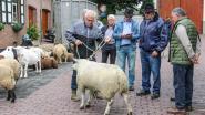 Schapen- en geitenkeuring blijft publiekstrekker in Michelbeke