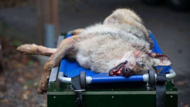 """Man die wolf doodreed aangeslagen: """"Ik dacht dat ik een ree geraakt had"""""""