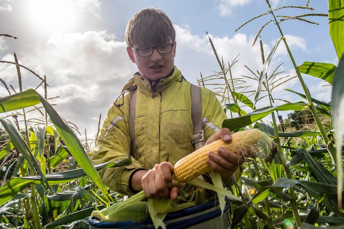 Mais oogst met de hand bij Franken Fruit. Foto: Tonny Presser/Pix4Profs
